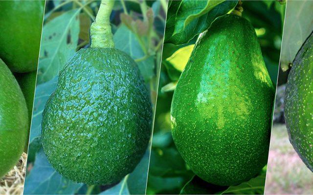 Abacate e a gordura que faz bem à saúde