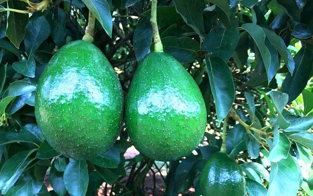 Conheça o ciclo do Abacate e suas diversas variedades
