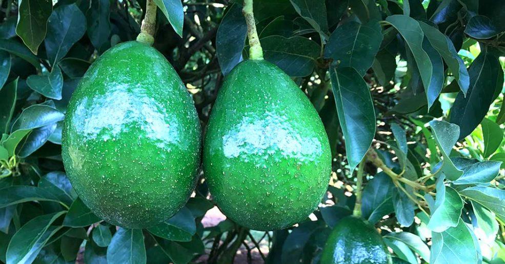 Abacate Campinas